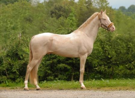 Horse Times Egypt: Equestrian Magazine :Issues & Articles :Akhal-Teke The Heavenly Horses Of Central Asia