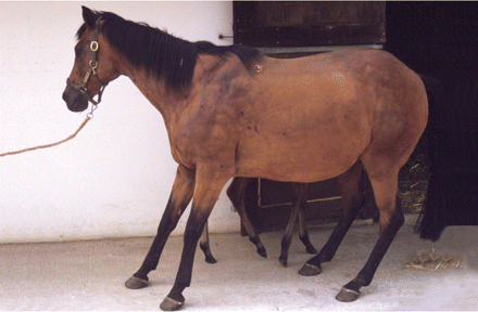 Horse Times Egypt: Equestrian Magazine :News :LAMINITIS RISK FACTORS